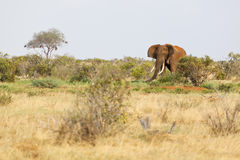 Red African Elephant in Kenya Royalty Free Stock Photos