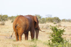 Red African Elephant in Kenya. A red dirty African Elephant in Tsavo East National Park in Kenya from behind Stock Images