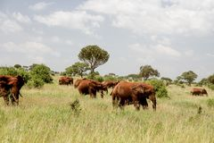 Red African Elephants stock images