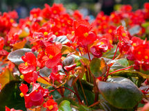 Red african Tulip tree (Spathodea campanulata) Stock Photography