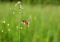 Red against green. Red insect on the green grass. Red against green. Red insect on the Briza media, which is a perennial grass in the family Poaceae and is a royalty free stock photography