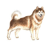 Red Alaskan malamute. Image of a big thoroughbred dog. Watercolor painting Royalty Free Stock Image