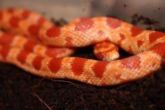 Red Albino Pet Corn Snake Royalty Free Stock Images