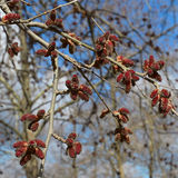 The red alder catkins. The beautiful flowers of early spring Stock Images