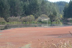 Red Algae Bloom Stock Photo