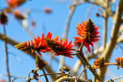 Red Aloe Flowers Royalty Free Stock Image