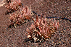 Red aloe plants. In Fuerteventura Stock Photos