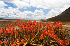 Red Aloe Plants in Scenic Mountain Valley. Bright Red Flowering Aloe Plants in Foreground of Scenic South African Mountain Valley with Lake and Cloudy Blue Sky Stock Photos