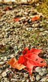 Red alone. Maple leaf red fall Stock Photos