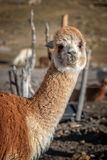 Red alpaca portrait in Bolivia. SOuth America stock image