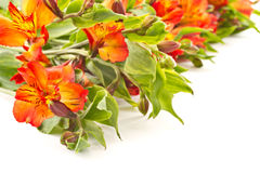 Red alstroemeria Royalty Free Stock Photo