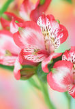 Red  alstroemeria flower Royalty Free Stock Photos