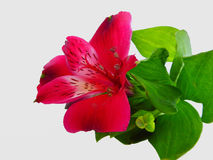 Red alstroemeria flower with green leaves Stock Image