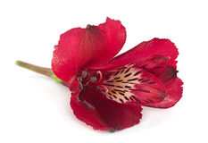 Red Alstroemeria flower head Royalty Free Stock Image