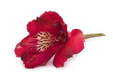 Red Alstroemeria flower head Royalty Free Stock Photos