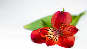 Red alstroemeria flower Royalty Free Stock Image