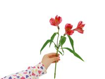 Red alstroemeria lily Stock Photos