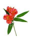 Red alstroemeria lily Royalty Free Stock Photos
