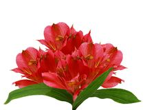 Red alstroemeria lily Stock Photography