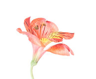 Red Alstroemeria Lily isolated on white Royalty Free Stock Photography
