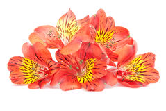 Red Alstroemeria Lily isolated on white Royalty Free Stock Photos