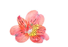 Red Alstroemeria Lily isolated on white Royalty Free Stock Photo