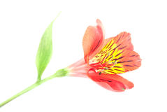 Red Alstroemeria Lily isolated on white background Royalty Free Stock Images