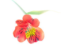 Red Alstroemeria Lily isolated on white background Stock Image