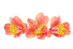 Red Alstroemeria Lily isolated on white background Stock Photos