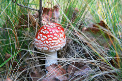 Red Amanita muscaria dangerous mushroom in an autumn forest Stock Photo