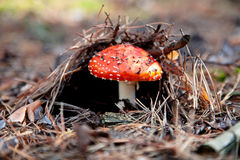 Red amanita mushroom Stock Photos