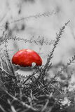 Red amanita mushroom in the forest Stock Image