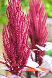 Red amaranth (Amaranthus cruentus) Royalty Free Stock Images