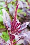 Red amaranth (Amaranthus cruentus) Stock Image