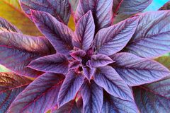 Red amaranth  flower close-up, shaggy royalty free stock photos