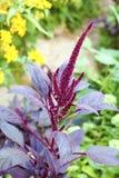 Red amaranth (Amaranthus cruentus) inflorescence Stock Photos