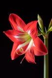 Red amarilis flower stock image