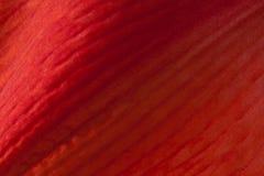 Red Amaryllis Stock Photography