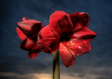 Red amaryllis. A red amaryllis against a twilight sky stock images