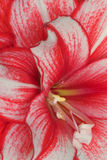 Red amaryllis. A close up of a red and white amaryllis petals Royalty Free Stock Photos