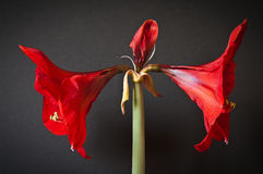 A red amaryllis Stock Photos