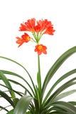 Red amaryllis. Stock Photos