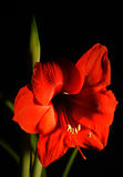 Red Amaryllis. With Black Background Royalty Free Stock Images