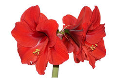Red Amaryllis. Isolation of Red Amaryllis royalty free stock images