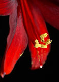 Red Amaryllis abstract Royalty Free Stock Photos