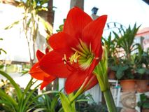 Red amaryllis bloom. In garden Royalty Free Stock Image
