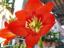 Red amaryllis bloom. In garden Royalty Free Stock Photography