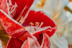 Red amaryllis blooming in spring in the famous Dutch tulip park. Taken in Keukenhof, Netherlands stock image