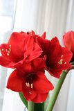 Red Amaryllis. Christmas flower - red Amaryllis in blossom Stock Photos