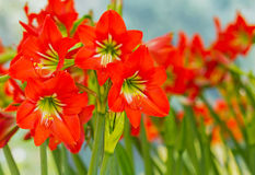 Red Amaryllis Stock Photos